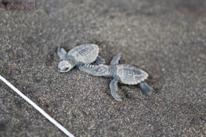 """Photo illustrant la mission écologique """"Protection des tortues marines et de la mangrove au Guatemala"""", avec Lifetime Projects"""