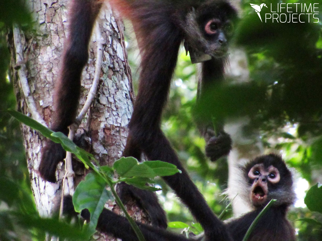 Photo de la mission Réintroduction de singes-araignées au Guatemala, avec Lifetime Projects
